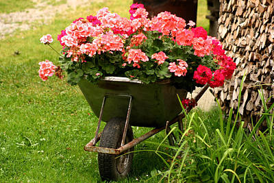 Photograph - Geranium In Old Wheelbarrow by Emanuel Tanjala