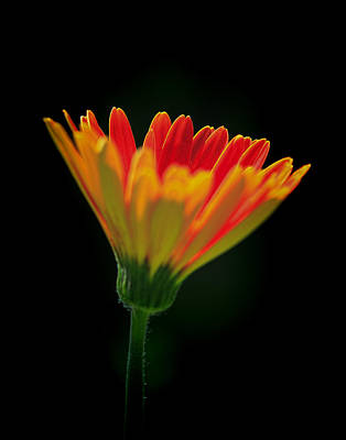 Photograph - Gerbera Daisy by Ray Kent