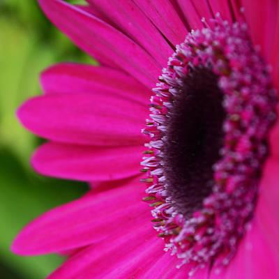 Gerber Daisy Photograph - Gerber Daisy Square by Melanie Moraga