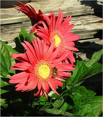 Photograph - Gerbera And Bee by Joyce Dickens