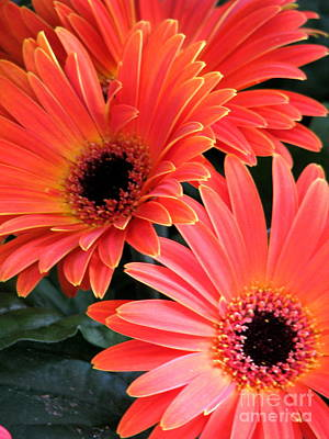 Gerbera Bliss Art Print by Rory Sagner