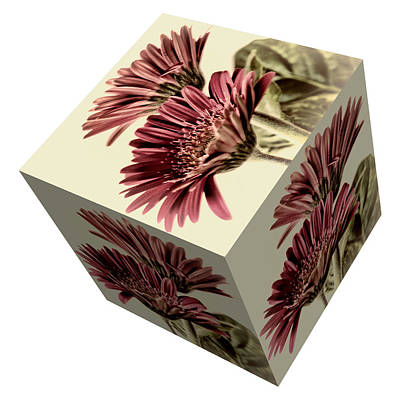 Photograph - Gerbera Cube On White by Steve Purnell