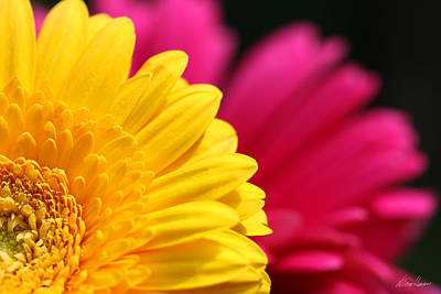 Photograph - Gerbera Daisies by Diana Haronis