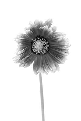 Daisy Photograph - Gerbera In Black And White by Sebastian Musial