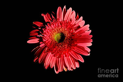 Floral Photograph - Gerbera by Pravine Chester