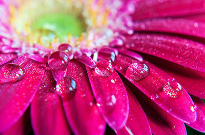 Extreme Close Up Photograph - Gerbera Rain Droplets by Michelle McMahon