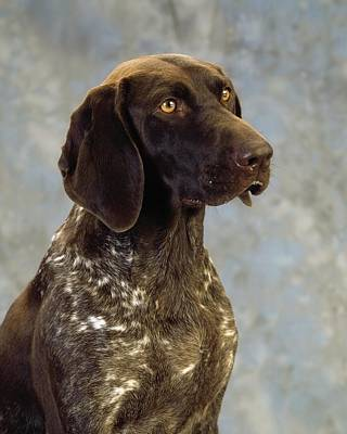 Best Irish Photograph - German Pointer Portrait Of A Dog by The Irish Image Collection