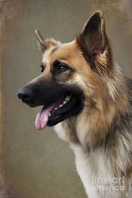 Photograph - German Shepherd Dog by Ethiriel  Photography