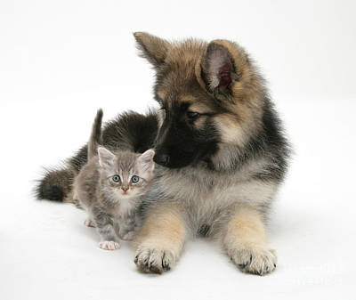 House Pet Photograph - German Shepherd Dog Pup With A Tabby by Mark Taylor
