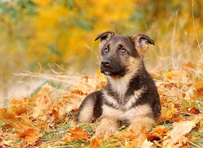 German Shephard Photograph - German Shepherd Dog Puppy by Waldek Dabrowski