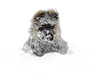 Photograph - German Shepherd In The Snow by Gualtiero Boffi
