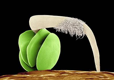 Seed Sprouting Photograph - Germinating Red Chard Seed, Sem by Susumu Nishinaga