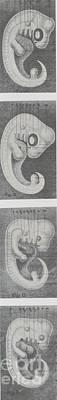 Germs Or Embryos Of Four Vertebrates Art Print