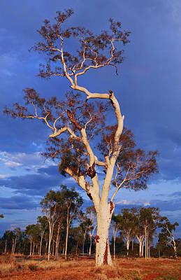 Australia Photograph - Ghost Gum by James Mcinnes