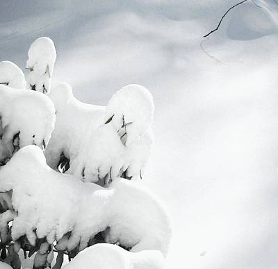 Photograph - Ghostly Snow Covered Bush by Pamela Hyde Wilson