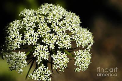 Eriogonum Photograph - Giant Buckwheat Flower by Raul Gonzalez Perez