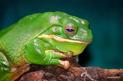 Photograph - Giant Frog . Litoria Infrafrenata by Paulo Zerbato