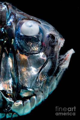 Unusual Animal Photograph - Giant Hatchetfish by Dant� Fenolio