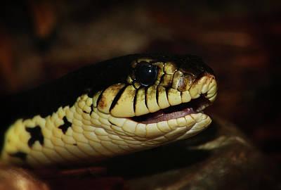 Photograph - Giant Hognose Snake 2 by Scott Hovind