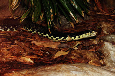 Photograph - Giant Hognose Snake by Scott Hovind