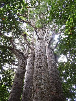 Photograph - Giant Kauri Grove by Peter Mooyman