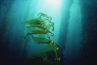 Flip Nicklin Photograph - Giant Kelp Forest California by Flip Nicklin