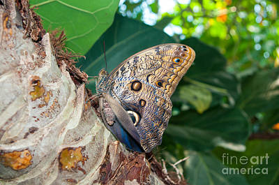 Photograph - Giant Owl Butterfly by Louise Magno