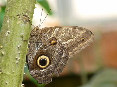 Art Print featuring the photograph Giant Owl Butterfly by Lynn Bolt