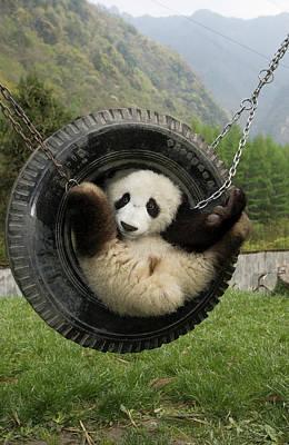 Photograph - Giant Panda Ailuropoda Melanoleuca Cub by Katherine Feng