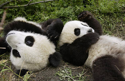 Giant Panda Ailuropoda Melanoleuca Pair Art Print by Katherine Feng