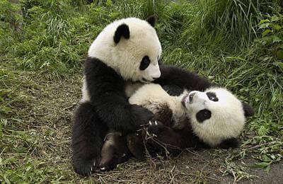 Giant Panda Ailuropoda Melanoleuca Two Art Print by Katherine Feng