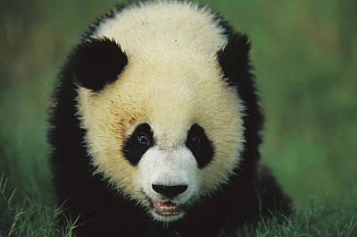 Panda Cub Wall Art - Photograph - Giant Panda Cub Portrait by Cyril Ruoso
