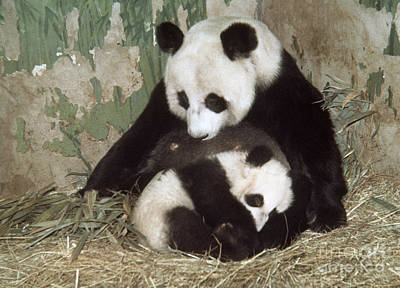 Panda Cub Wall Art - Photograph - Giant Pandas by Nature Source