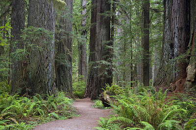 Giant Redwood Trees Along The South Art Print by Greg Probst