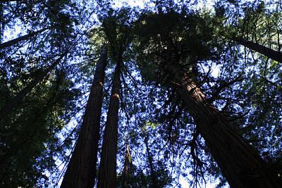 Photograph - Giant Redwoods, Muir Woods, California by Aidan Moran