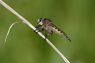 Art Print featuring the photograph Giant Robber Fly - Promachus Hinei by Daniel Reed