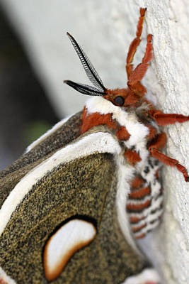 Photograph - Giant Silkworm Moth 13 by Mark J Seefeldt