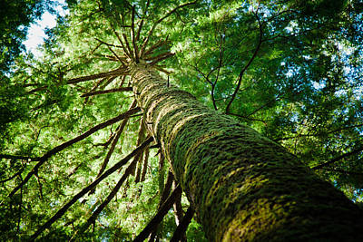 Giant Spruce Tree Canopy Art Print by Christopher Kimmel