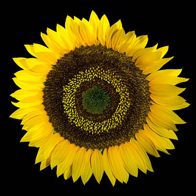 Photograph - Giant Sunflower by Greg  West