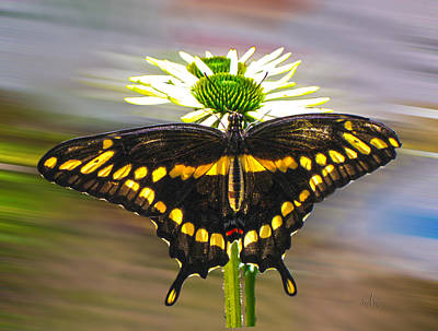 Giant Swallowtail 2 Art Print