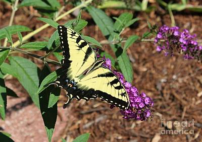 Giant Swallowtail Butterfly Art Print by Theresa Willingham