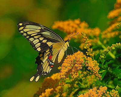 Swallow Photograph - Giant Swallowtail On Goldenrod by Tony Beck