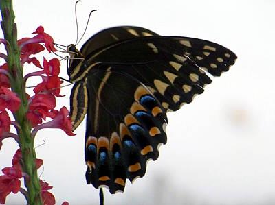 Giant Swallowtail On Porterweed Art Print by Judy Wanamaker