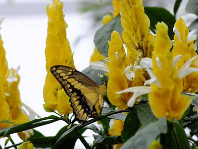 Photograph - Giant Swallowtail by Peggy King