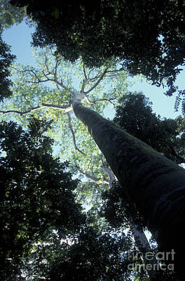 Photograph - Giant Trees Manuel Antonio Park Costa Rica by John  Mitchell