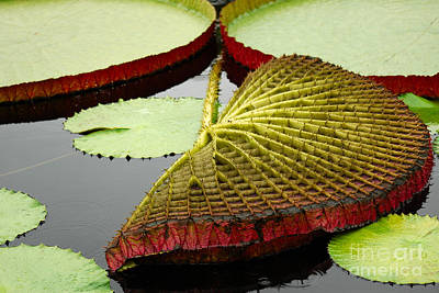 Photograph - Giant Waterlily Pad by Eva Kaufman