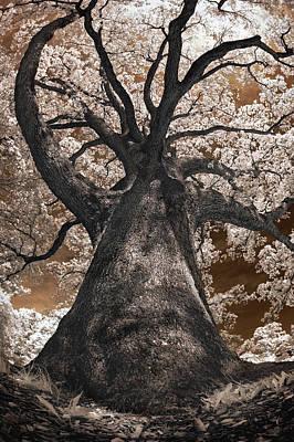 Photograph - Giant White Oak by Steve Zimic