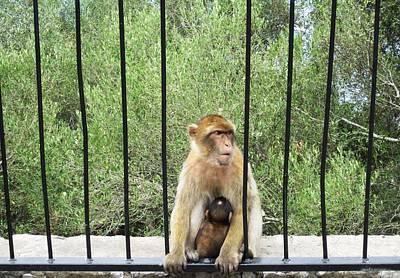 Photograph - Gibraltar Apes Monkeys Baby IIi Uk Territory by John Shiron