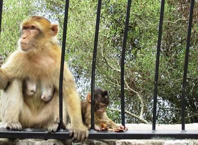 Photograph - Gibraltar Apes Monkeys Baby Iv Uk Territory by John Shiron