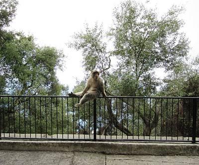 Photograph - Gibraltar Barbary Ape Monkey Uk by John Shiron